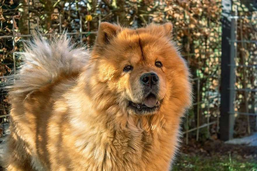 chow-chow-chow-chow-chow-dog-pet-cute-portrait-fluffy-furry-3677381