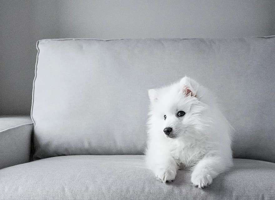 japanese-tip-spitz-dog-puppy-white-fur-long-haired-grey-1944763
