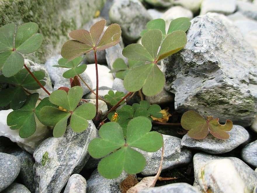 lucky-clover-green-leaves-heart-shaped-stones-poor-soil-lucky-charm-7367205