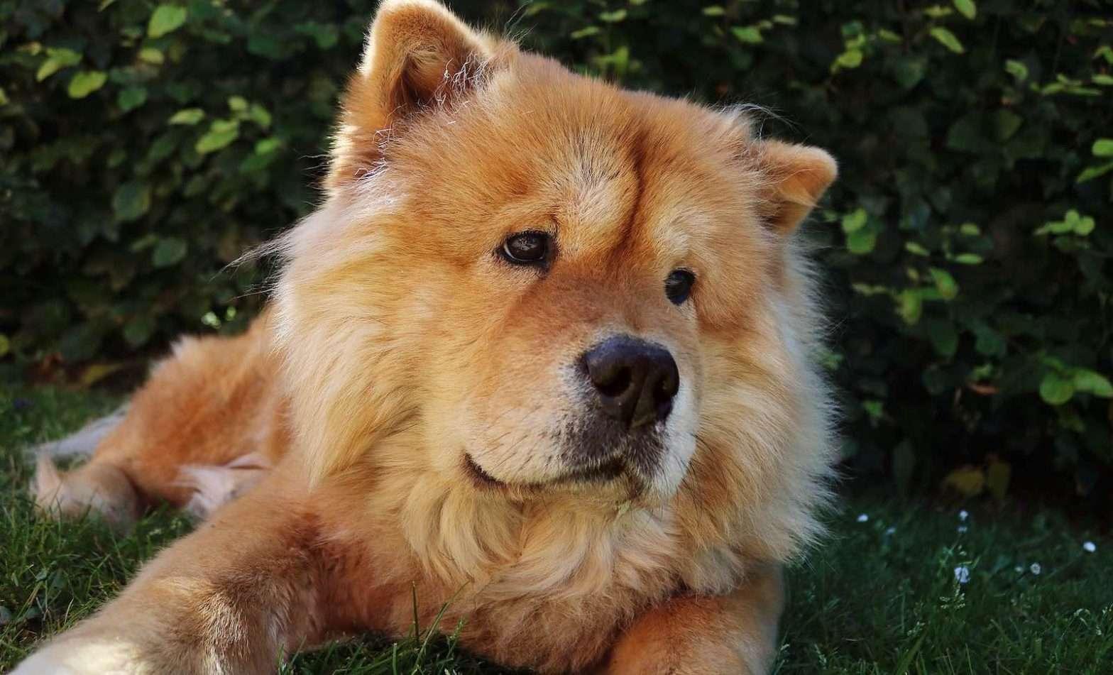 Hund ser ut som en nalle Chow Chow